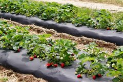 Strawberry patch Royalty Free Stock Image