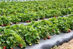 Strawberry patch -3 Stock Image