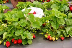 Strawberry Patch -4 Royalty Free Stock Photo