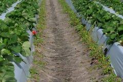 Strawberry Patch. A scene from a u-pick strawberry farm Royalty Free Stock Photos