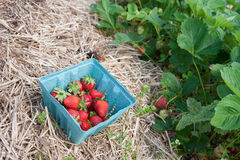 Strawberry Patch Stock Photo
