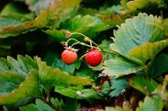 Strawberry patch Stock Photo