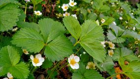 Strawberry Patch. This strawberry patch is thriving in the spring time of Michigan. Flowers are budding meaning fresh strawberries soon. Enjoyed and captured in Stock Photo