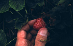 Strawberry Pick stock image