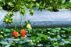 Strawberry in pick up farm Royalty Free Stock Photo