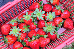 strawberry picked Stock Photography