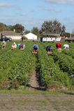 Strawberry picker workers. Farm workers harvesting strawberries in the hot florida sun Royalty Free Stock Photo