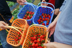 Strawberry picking. Picking strawberry in the farm is one of the leisure activities for friends and families, photo taken in 2009 Stock Photography