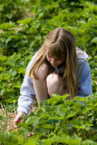 Strawberry Picking Stock Image