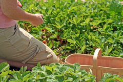 Strawberry Picking. Kneeling and picking strawberries in the strawberry patch Stock Photos