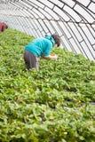 Strawberry picking Royalty Free Stock Photo