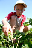 Strawberry picking Royalty Free Stock Photography