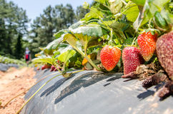 Strawberry picking Stock Photos