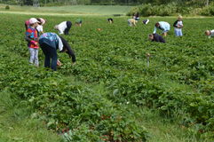 Strawberry picking in Finland - families spending a day together Royalty Free Stock Photography