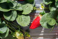 Strawberry picking at Hod ha Sharon Royalty Free Stock Images