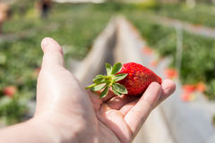 Strawberry picking at Hod ha Sharon Royalty Free Stock Image