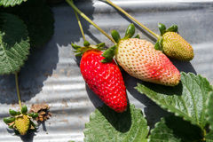 Strawberry picking at Hod ha Sharon Stock Photography