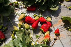 Strawberry picking at Hod ha Sharon Stock Photo