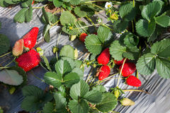 Strawberry picking at Hod ha Sharon Royalty Free Stock Photo