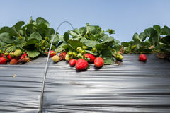 Strawberry picking at Hod ha Sharon Stock Images