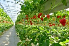 Strawberry picking in Izu Fruit Park, Japan stock images