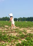 Strawberry picking. Little girl picking strawberries in the field Royalty Free Stock Photos