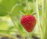 Strawberry. Picture of a strawberry in my garden that I ate after and it was very good royalty free stock image