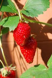 Strawberry plant Stock Photography