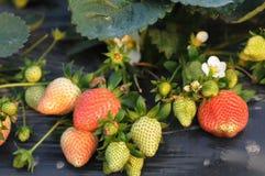 Strawberry plant Stock Image