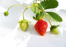 Strawberry plant. With green and red fruits. North Carolina royalty free stock image
