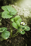 Strawberry plant Stock Images