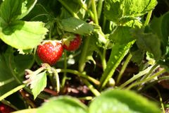 Strawberry plant. Close-up of a strawberry plant in a field royalty free stock photography