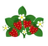 Strawberry plant. Strawberry shrub with fruits and flowers. Vector illustration Stock Photos