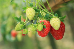 Strawberry plant. Organic strawberry growth in plant stock photo
