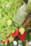 Strawberry plant. Organic strawberry plant to growth Royalty Free Stock Photography