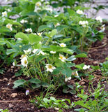 Strawberry plant. On the garden bed in flowering time royalty free stock image