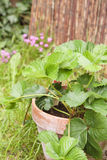 Strawberry plant. A young strawberry plant grown in a terracotta pot in a garden Stock Photo