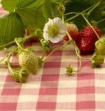 Strawberry plant Royalty Free Stock Photo
