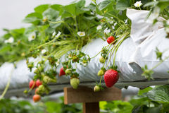 Strawberry plant. The organic strawberry farm at Cameron Highlands Malaysia Royalty Free Stock Images