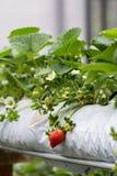 Strawberry plant. The organic strawberry farm at Cameron Highlands, Malaysia Royalty Free Stock Image