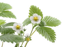 Strawberry plant. Close-ups of strawberry plant with flowers isolated on white stock photos