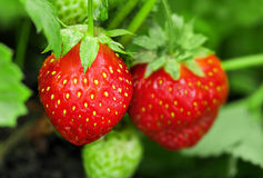 Strawberry plant. Two berries, outdoor shot royalty free stock photos