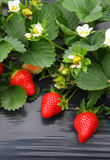 Strawberry plant. Close-up of strawberry plant in field royalty free stock image