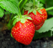 Strawberry plant. Two berries, outdoor shot stock photography