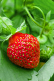 Strawberry plant. Single berry, outdoor shot Stock Image