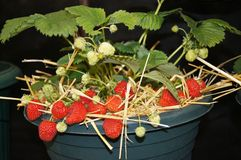 Strawberry Plant. In a pot against a black background Royalty Free Stock Images