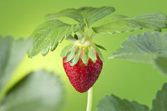 Strawberry Plant Fruit Green royalty free stock images