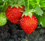 Strawberry plant. Two berries, outdoor shot royalty free stock photo