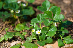 Strawberry plant. With white blooms in a cultivated field stock photography