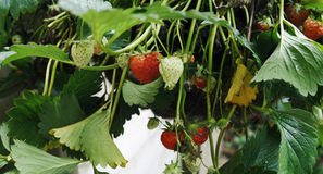 Free Strawberry Plant Royalty Free Stock Photography - 5294657